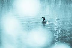 Lost in a dream (Ans van de Sluis) Tags: blue nature water river de botanical cool pond bokeh pov botanic van ans grebe sluis ooij bokehlicious
