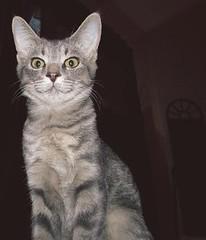Gandalf the Grey (CatnessGrace) Tags: cats grey chats feline chat kittens gatos gato felines katze gatto katzen gatti greycats petportraits catportraits animalportraits catfaces