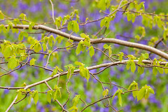 Dunnington Woods (matrobinsonphoto) Tags: wood flowers trees blur tree green nature leaves bluebells forest woodland lens landscape countryside leaf spring branch purple bokeh fresh foliage greenery dunnington hagg