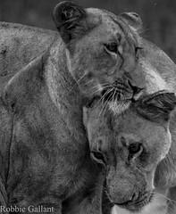 Two Lioness (Robbie Gallant) Tags: africa white black animal cat wildlife lion safari predator