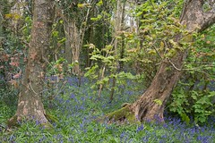 Bluebell Woods (Zoe K Williams) Tags: wood uk flowers blue trees green nature bluebells wales woodland countryside spring hyacinthoides