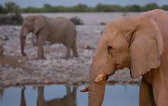 Elephants (Thomas Retterath) Tags: africa nature animals canon tiere wildlife ngc natur npc afrika waterhole elefant mammals namibia allrightsreserved tusks africanelephant herbivore bigfive endangeredspecies 2015 loxodontaafricana sugetier wasserloch elephantidae redlist pflanzenfresser etoshanationalpark okaukejo roteliste stoszhne thomasretterath eos5dmarkiii gefhrdetetierart copyrightthomasretterath ef300lis28usm