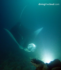 Manta birostris (divingthecloud) Tags: sea fish pez mar agua diving maldives buceo mantabirostris maldivas nightdiving fotosub bajoelagua