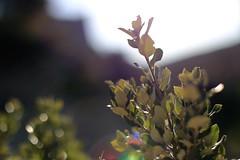 chne vert - holm oak IMG_8196 (Ludo_M) Tags: light tree nature canon leaf oak bokeh flare provence arbre holmoak canonef50mmf14usm ef50mmf14usm greenoak canoneos6d