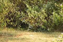 Stalker (Deepu Cyriac) Tags: nature animals wildlife tiger karnataka kabini westernghats bengaltiger nagarhole indianforest royalbengaltiger