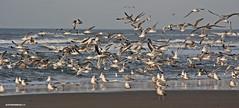 Gulls @ Texel. #Texel #gull #gulls #sea #zee #seascpae #birds #animals #sand #zand #Noordzee #northsea #wadden #waddeneiland #kust #coast #justin #sinner Pictures #eiland #island #photo #waves #nature #natuur #dutch #holland #Netherlands #noordholland (JustinSinner.nl) Tags: pictures justin sea holland nature netherlands dutch birds animals island coast photo wadden waddeneiland sand waves gull gulls noordzee natuur zee northsea sinner texel noordholland zand eiland kust seascpae texels texelpics