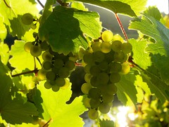 Grapes along the Mosel (rscharroo) Tags: leaves grapes mosel sx230