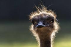 The ostrich (ramerk_de) Tags: portrait bird zoo ngc npc nürnberg naturesfinest struthiocamelus specanimal