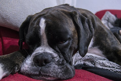 FELICES SUEOS PEQUEA AMIGA HAPPY DREAMS MY LITTLE FRIEND (katalan46) Tags: sleeping dog pet love amigo friend soft sweet sleep amor boxerdog perro tired boxer rest dormir mascota tender endearing suave dulce cansada descanso sueo noble fiel faithful ternura entraable perroboxer