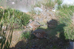 Partridges (Dick Dangerous) Tags: mountains portugal birds do walk pico madeira partridges areiero