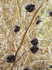 Seed Pods (Picsnapper1212) Tags: ohio lebanon plant nature seed seeds prairie seedpods wildflower pods warrencounty prairiemimosa illinoisbundleflower millerecologicalpark