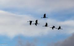 2-Rentre au dortoir... (Crilion43) Tags: france nature centre ciel arbres cher nuages paysage oiseaux bleue msange charbonnire grues cendre diversnature