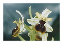 ophrys araneola (2) bb (luka116) Tags: 2005 france fleur aude ophrys ophrysaraneola orchidaces