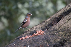 Chaffinch (Keith Grafton) Tags: birds chaffinch leightonmoss