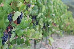 Italy 2015 (marcorzel) Tags: italy canon eos 50mm wine wein weintrauben 100d gangimignano