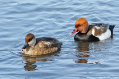 Red-crested Pochards_82A2089 (kevinmayhew62) Tags: pochard redcrested