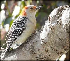 Red Bellied Woodpecker in a tree (DianeBerky19) Tags: birds backyard redbelliedwoodpecker nikoncoolpixp900feeder