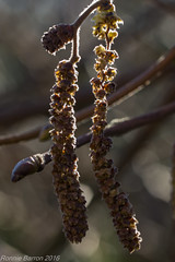 catkin bokeh contre jour (RCB4J) Tags: morning plant macro tree art nature closeup garden photography scotland frost bokeh hazel february contrejour catkins ayrshire cobnut irvinevalley tamronspaf90mmf28dimacro11 sonyslta77v ronniebarron rcb4j