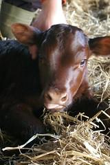 Baby cow heifer born 2 days ago