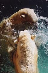 Untitled-14 (ucumari photography) Tags: 2003 bear animal mammal zoo oso nc december north polarbear carolina willie willy masha eisbär wilhelm ursusmaritimus シロクマ oursblanc osopolar 北极熊 ourspolaire orsopolare jääkarhu 북극곰 ucumariphotography ísbjörn niedźwiedźpolarny полярныймедведь الدبالقطبي