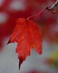 Red Maple (Dendroica cerulea) Tags: autumn ny newyork tree leaves creek leaf maple stream foliage acer redmaple windham greenecounty acerrubrum catskillmountains fav10 sapindaceae sapindales hippocastanoideae windhampath