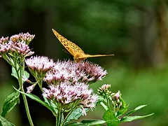 Inwazja:) (januwas) Tags: blume schmetterling kwiat motyl