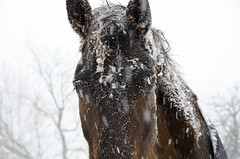 Longing (Nix Alba) Tags: winter horses horse snow nature weather outdoor snowstorm racehorse thoroughbred equine equines offtrack