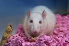 I love him <3 (Schneeglöckchen-Photographie) Tags: animal rat ratte tier superfotos spitzenfotos