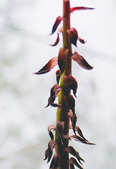 Echeveria (Adam DJ King) Tags: plants plant black adam green home king prince greenery echeveria