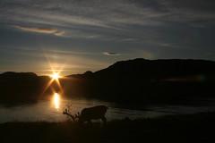 look at the details! (unihiir) Tags: sunset pee norway reindeer