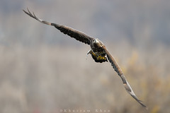 No getaway (Khurram Khan...) Tags: winter wild ilovenature fishing nikon wildlife baldeagle raptors hunt birdsofprey migratingbirds wildlifephotography ilovewildlife iamnikon khurramk khurramkhan