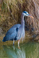 Great Blue Heron_C7D3968 (matxutca (cindy)) Tags: california bird heron nature water livermore springtown 2016 topazadjust