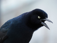 BTGR_2016 (Surfishrink) Tags: birds virginia boattailedgrackle quiscalusmajor virginiabeach rudeeinlet