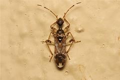 Afrovertanus elongatus (Dirt-coloured Seed Bug) - South Africa (Nick Dean1) Tags: insect southafrica insects arthropods animalia arthropoda krugernationalpark arthropod hexapod insecta hemiptera lowersabie hexapods hexapoda seedbug afrovertanuselongatus dirtcolouredseedbug
