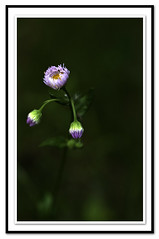Wild Budding Aster (rzernitsky) Tags: flowers macro assignments themes flowerswildflowers