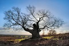 Old Oak (kev747) Tags: park england tree oak leicestershire bradgate