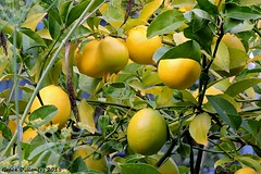 Vitamin C on the Tree (Grace Pedulla Dillon) Tags: ranch stilllife orange tree yellow fruit botanical juicy florida grove farm delicious oranges vitaminc
