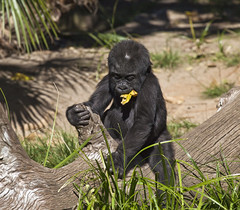Baby Gorilla (Stephen P. Johnson) Tags: california baby fauna zoo san sandiego gorilla landmarks diego places 201602080097