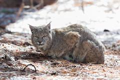 Yosemite National Park: Cat Nap (kielmaddoxphotography) Tags: nature wildlife yosemitenationalpark bobcat yosemitevalley yosemitebobcat