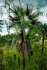 Livistona humilis (Sand Palm) (betadecay2000) Tags: plant flower tree green fleur bush outdoor top pflanze pflanzen australian australia palm palmtree end australien grn humilis bume palme baum busch australie bloem austral savanne livistona regenzeit