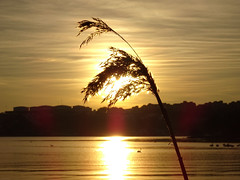 Golden Sunrise + Reed Dancing in the Wind + Swans (crush777roxx) Tags: ocean camera morning sun sunlight plant reed nature grass sunshine sunrise gold golden swan sweden stockholm sony sverige february crush djurgarden gärdet 17th compact djurgården gardet ostermalm compactcamera östermalm 2016 stockholmsweden morningsunrise goldensunrise sooc straightoutofcamera goldsun dancinginthewind hx90v sonyhx90v crush777roxx 20160217 goldreed reedsinsun