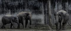 The Large Family (Ah Wei (Lung Wei)) Tags: portrait blackandwhite bw white elephant black nature monochrome animal animals nikon wildlife malaysia   hdr taiping wildanimals perak       nikon80200mm   nikon80200mmf28  my taipingzoo   naturephotograph zootaiping  nikond7000  ahweilungwei
