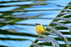 B E M - T E - V I (Caio Betto) Tags: verde azul bemtevi natureza passarinho macap bentivi