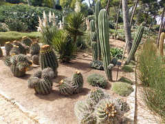 Ferocactus herrerae & Pachycereus pringlei (amantedar) Tags: spain catalonia ferocactus cactusgarden pachycereuspringlei caproig pachycereus jardinsdecaproig ferocactusherrerae