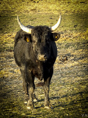 Rao Di Biou - Taureau de Camargue (Yoann_R) Tags: france nature eau rhne paysage gard chevaux camargue sauvage hrault mditerrane taureau bouchesdurhne flamantrose suddefrance