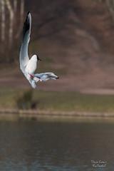 Acrobaties ariennes (Denis-et-Alain-nature) Tags: lumire oiseaux lumirenaturelle lumiredujour f456 mouetterieuse plandeau wingles basenautique 55250mm chroicocephalusridibundus canon70d