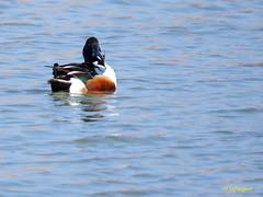 Cuchara comn              (Anas clypeata) (20) (eb3alfmiguel) Tags: aves cuchara comn acuaticas europeo antidas