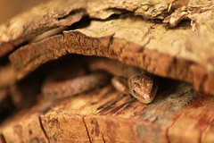 The silky tail (My_adventure) Tags: uk tree nature sunshine coast warm day glow natural bokeh reptile south smooth reserve amphibian hampshire lizard bark camouflage hiding common sunbathing finest natures silky hideout unedited basking