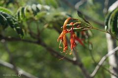 Flores antigas de Thyrsacanthus ramosissimus (Acanthaceae) (alcesterdiego) Tags: flores brasil bahia acanthaceae biologia ecologia semirido caetit