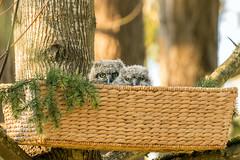 Great Horned Owlets (Mick Thompson1) Tags: backyard bird cute